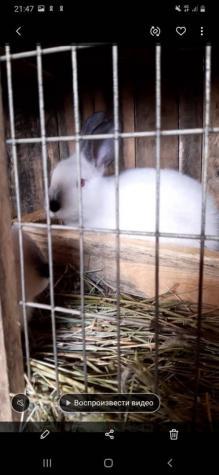 Крольчата калифорнийцы 3х месячные.чистокровные. . Photo 0