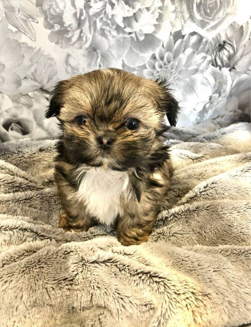 Όμορφα κουτάβια σκύλων και σκύλων Shih Tzu για επανένωση