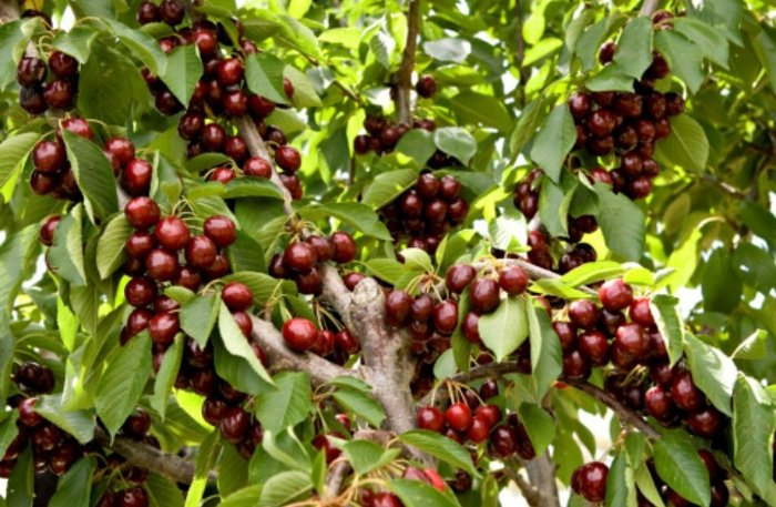 Bakı şəhərində Qubada Pirvahid kendinde 13 sot meyve bagi satilir.heyetde her novde