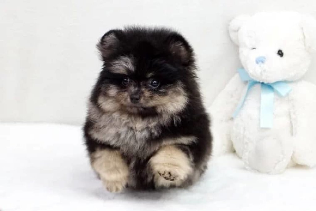 I have two beautiful very small stunning Pomeranian puppies