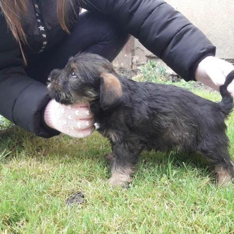 Schnauzer dog puppy for sell in Greece. Photo 1