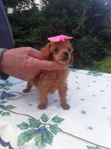 Poodle toy mini Caniche ΚΑΝΙΣ ΜΙΝΙ'. Photo 3