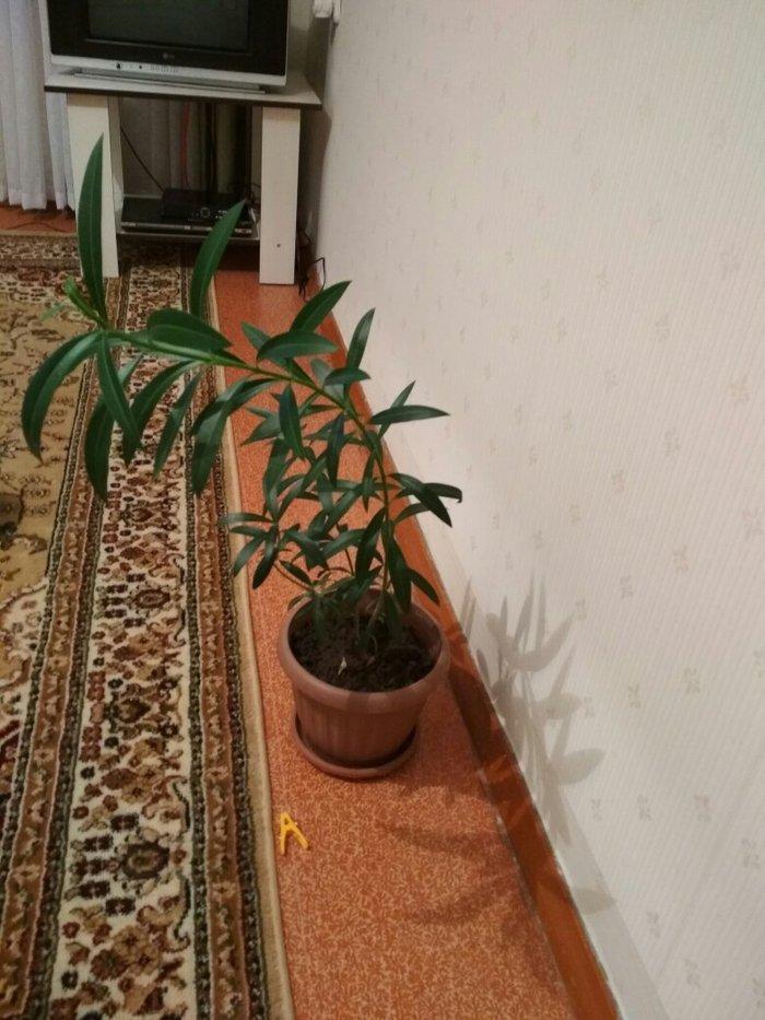 Комнатное растение. очень красивый в живую. здоровый, без химикатов.. Photo 1