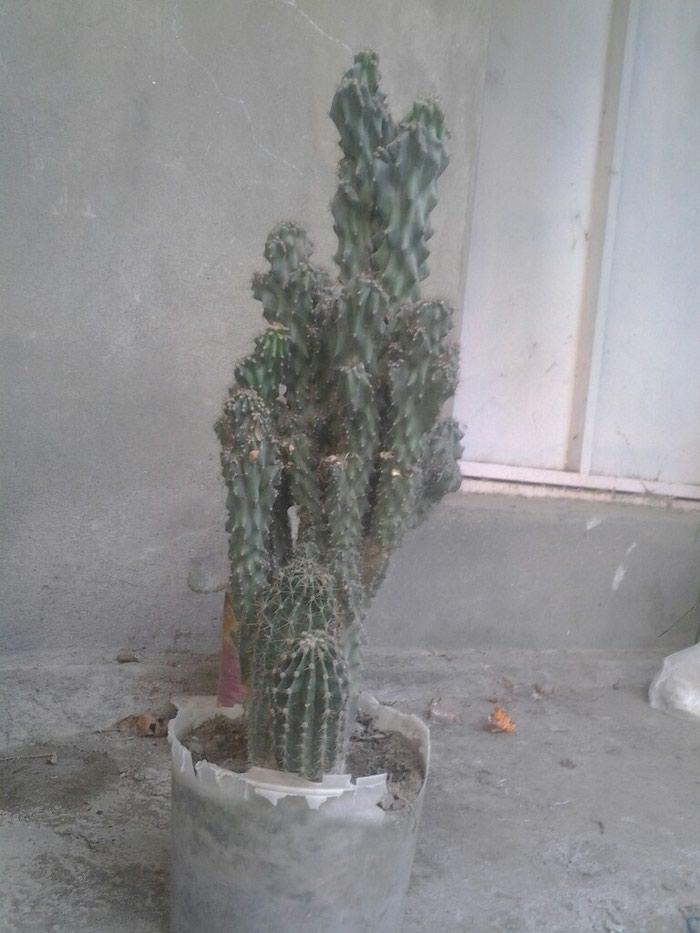 Gəncə şəhərində Kaktuslar