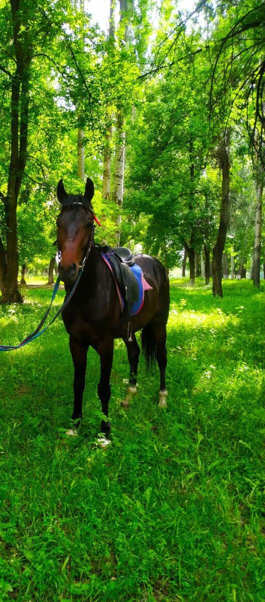 Продам лошадь чисто кровный  англо араб 3 года рост 158  Как отдать 140000 цена окончательно!