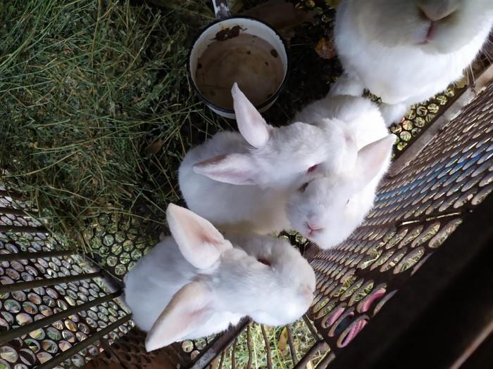СРОЧНО!!!!!! продаю кроликов НЗБ !!!БОЛЬШИХ 1500с И МАЛЕНЬКИХ 700с. Photo 2