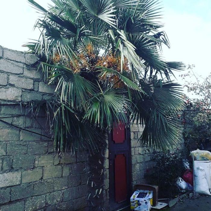 Palma agaci. Photo 4