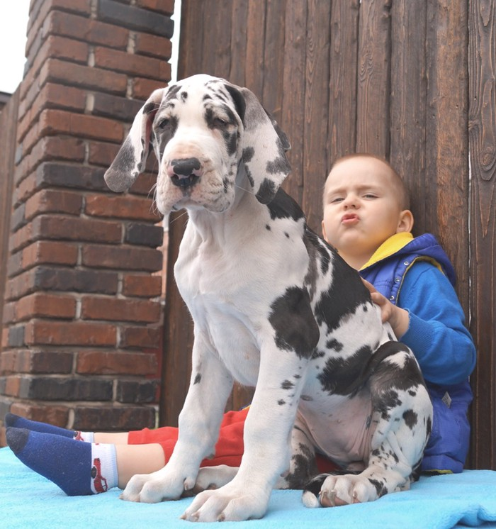 Absolute male and female Great Dane Puppies for adoption