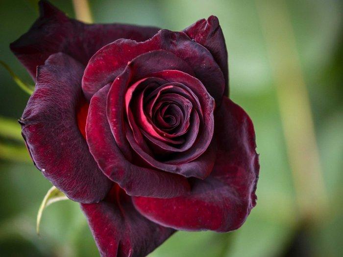 50 Σποροι Τριανταφυλλο Black Pearl. Photo 4