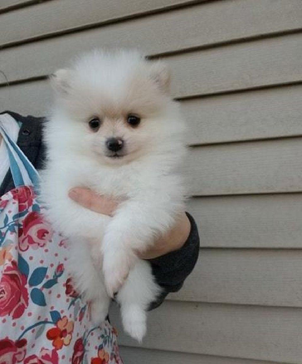 Παιχνιδιάρικα Pomeranian κουτάβια που αναζητούν νέο σπίτι