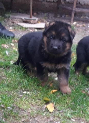 German Shepherd Γερμανικός ποιμενικός. Photo 2