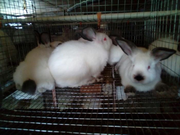 Продаются калифорнийские крольчата. Photo 1