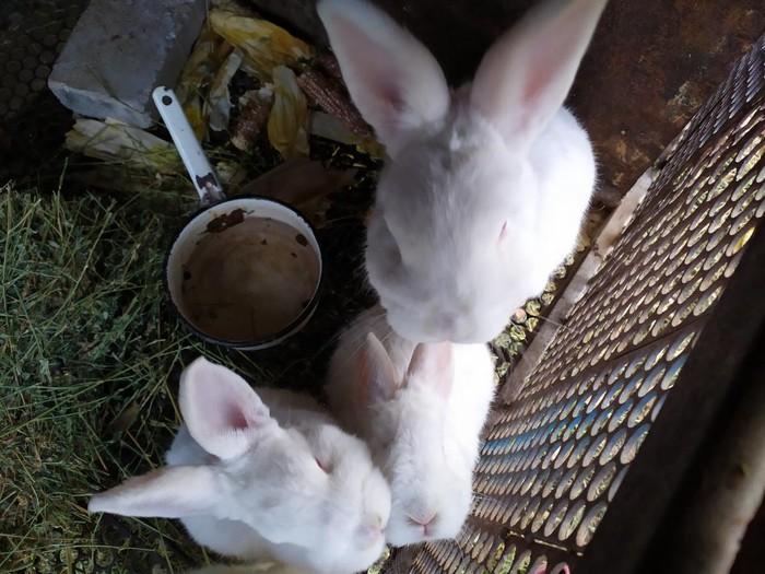СРОЧНО!!!!!! продаю кроликов НЗБ !!!БОЛЬШИХ 1500с И МАЛЕНЬКИХ 700с. Photo 1