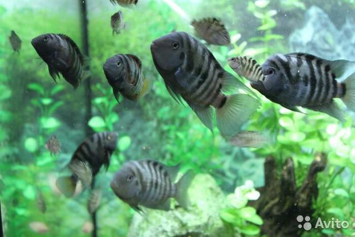 Аквариумние рибки цени договорние. Photo 6