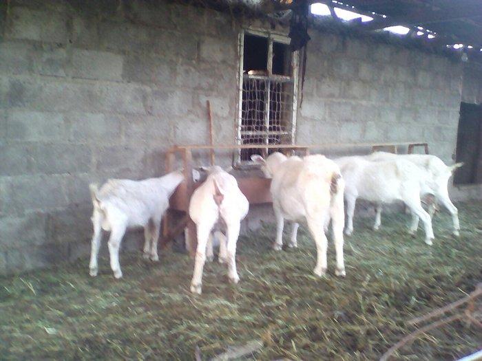 продаю дойных коз в Шопоков