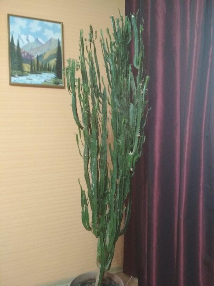 Молочай,высота более 2-х метров,для офиса в Бишкек