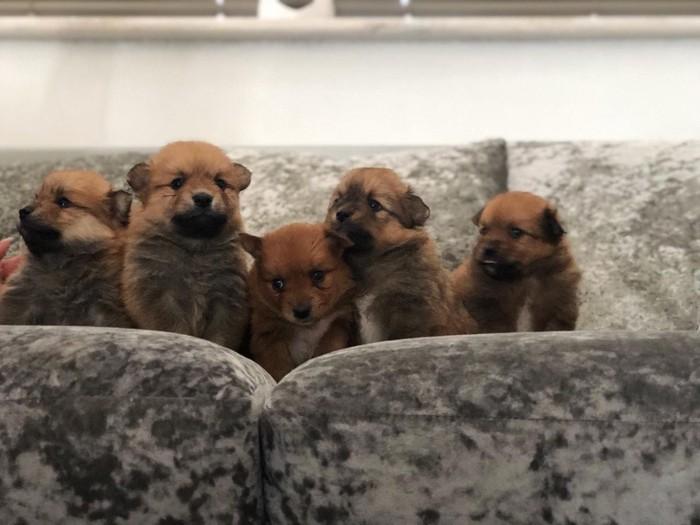 Πολύ φιλικά και όμορφα Pomeranian κουτάβια διαθέσιμα