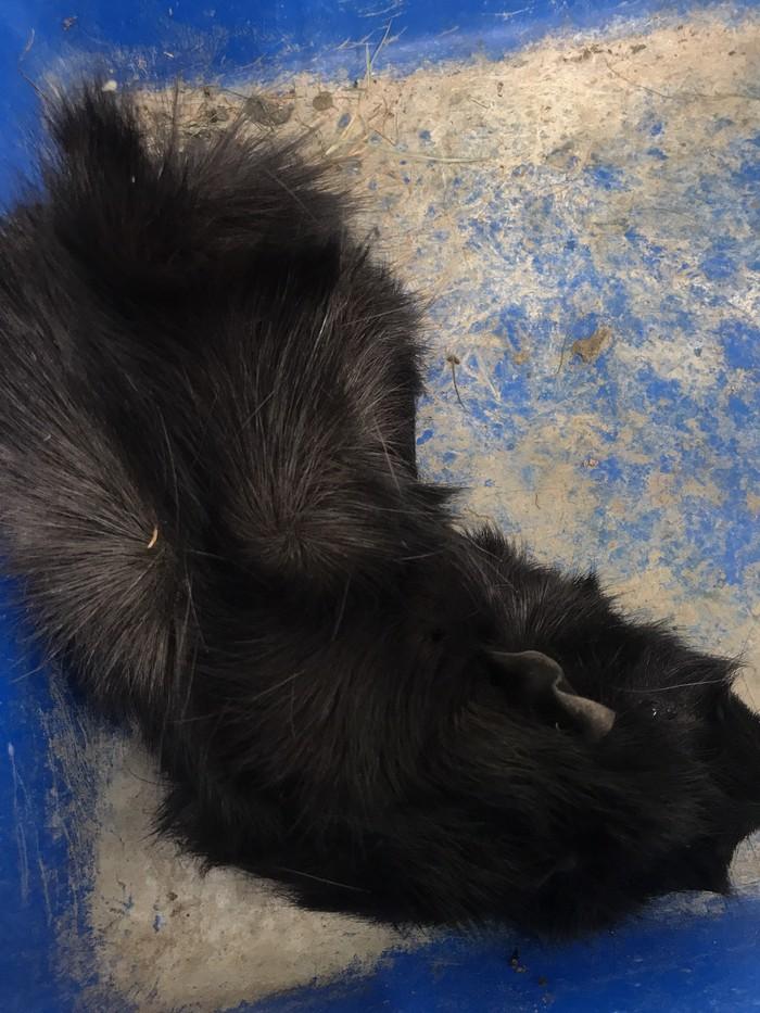 Морская свинка, мальчик,1 год. Photo 0