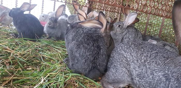 Продаю кролик мясные. Photo 5