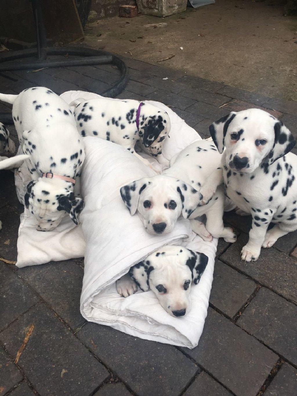 Όμορφα κουτάβια dachshund
