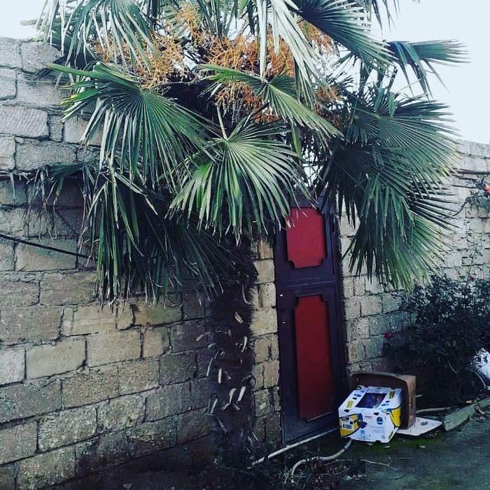Palma agaci. Photo 6