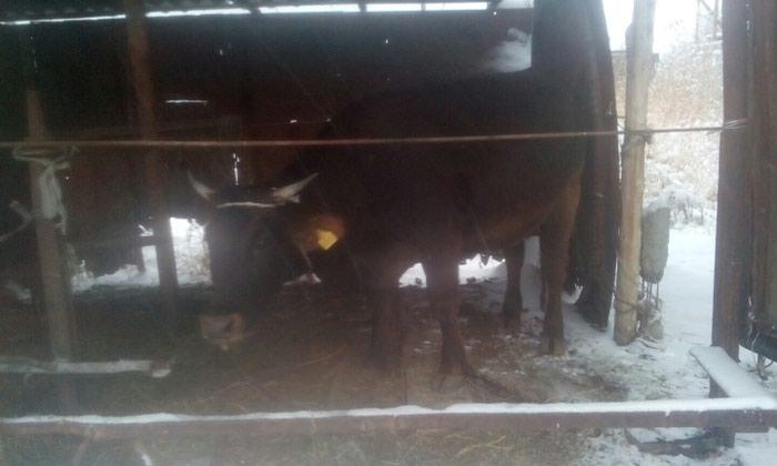 Корова. Photo 2