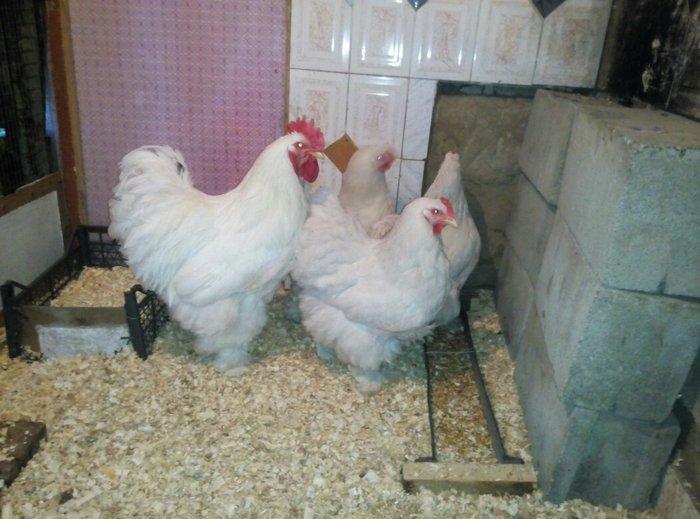 продаю инкубационное яйцо кохинхина следующих окрасов: белый, черный.  в Лебединовка