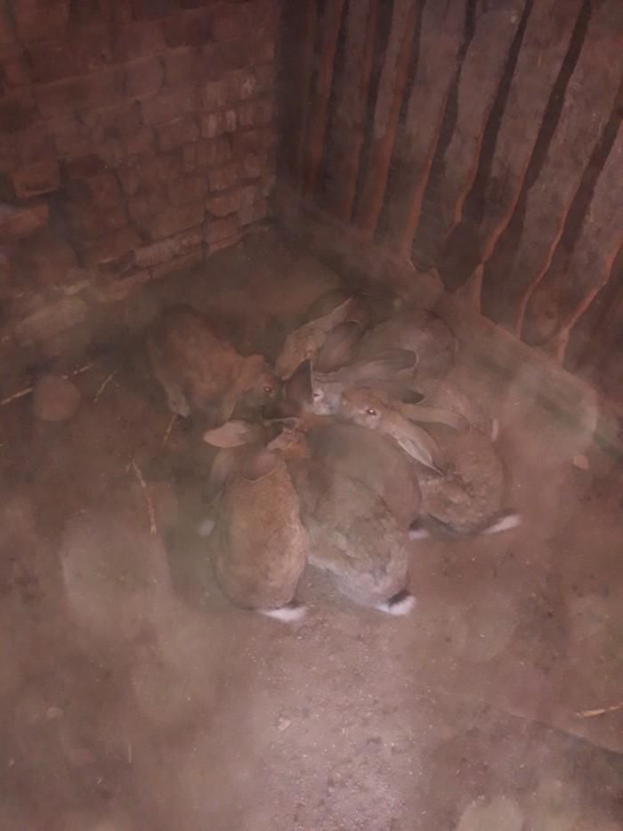 Продаю кролих  возраст 5 месяцев привитые. Photo 2
