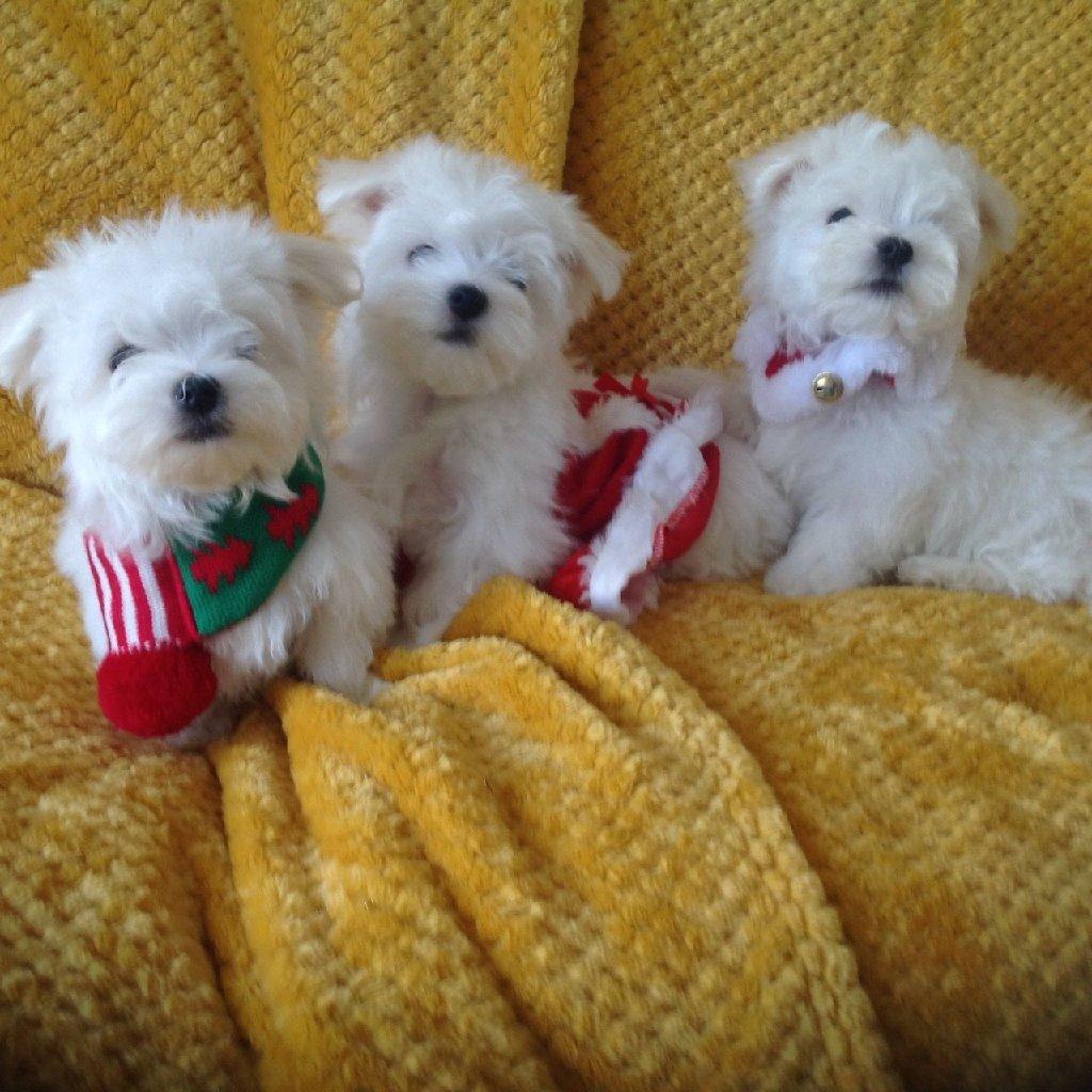 Μάλτα σκυλιά και κουτάβια προς πώληση