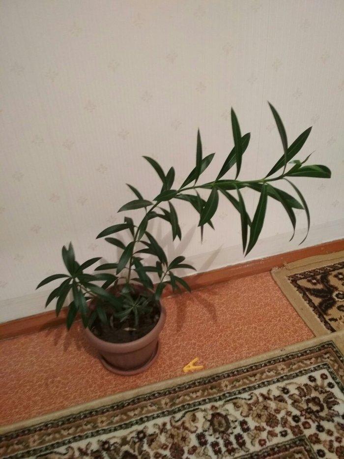 Комнатное растение. очень красивый в живую. здоровый, без химикатов.. Photo 2