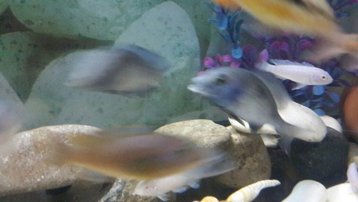 Dilfin  balıgı  9  10  santı  erkək  maya  satlır. Photo 1