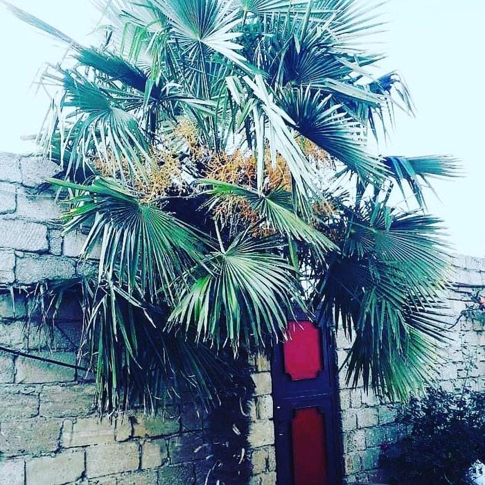 Palma agaci. Photo 2