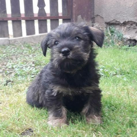 Schnauzer dog puppy for sell in Greece. Photo 0