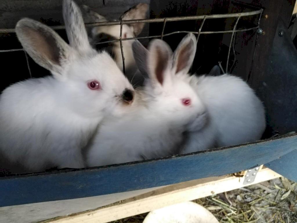 Продаю чисто кровных кроликов Калефорния родились 22. 09. Photo 1