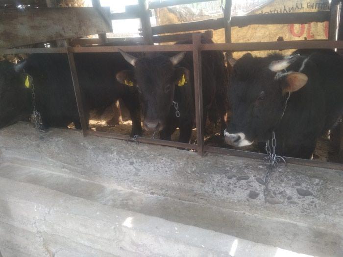 Продаю 5 бычков, возраст всем полтора года, цена 210-тыс за всех. Photo 0