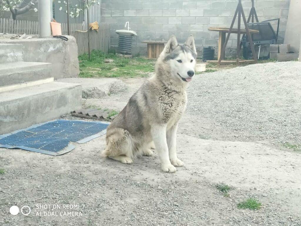 Продаю собаку породы хаски. 1 годик: Продаю собаку породы хаски. 1 годик