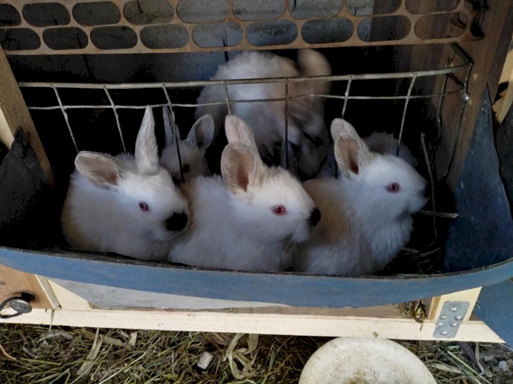Продаю чисто кровных кроликов Калефорния родились 22. 09. Photo 0