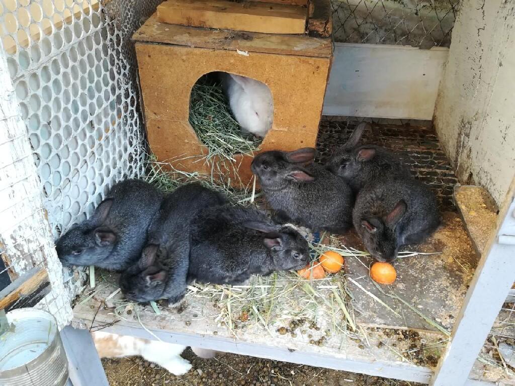 Продаю крольчат помись Нзб и серый великан месяц по 250 сом. Photo 1