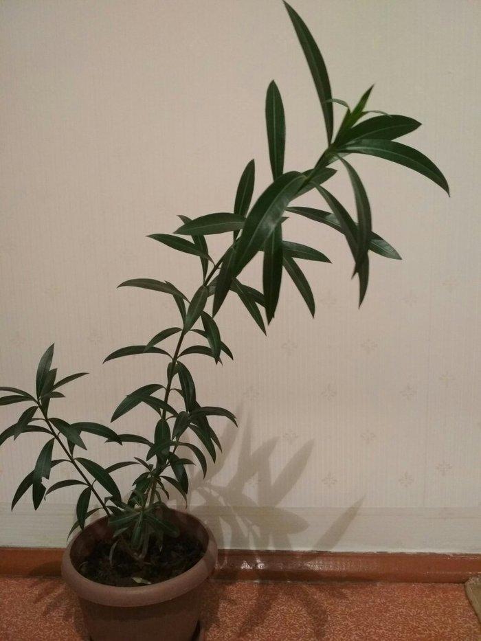 Комнатное растение. очень красивый в живую. здоровый, без химикатов.. Photo 3