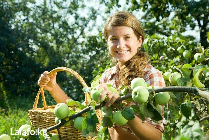 Помогу собрать яблоки, груши и др с вашего огорода! в Бишкек