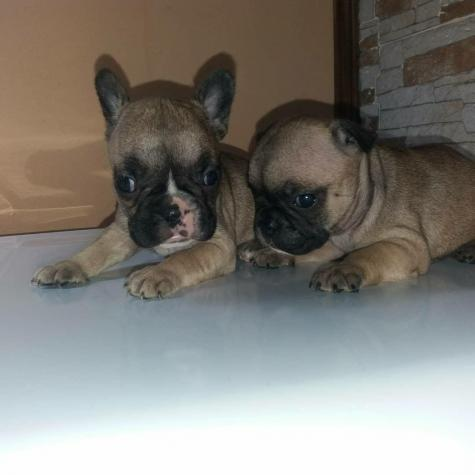 Fawn french bulldogs for sell in Greece. Photo 0