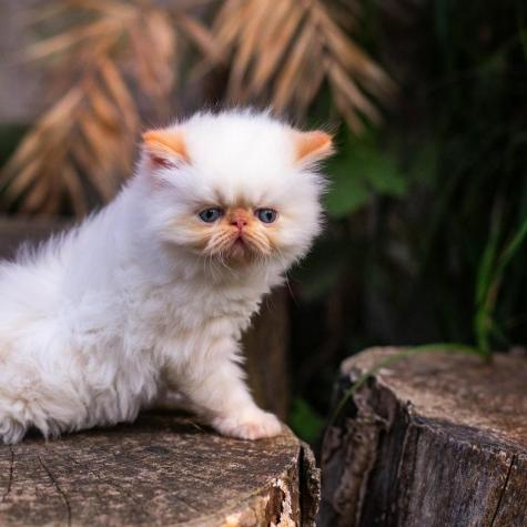 Persian cat for sale in Greece. Photo 1
