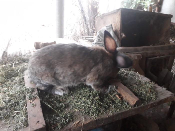 Продаю кролиху возраст 1 год порода фландр. Photo 4
