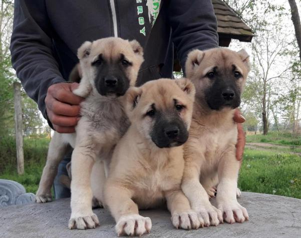 Kangal puppies Κάνγκαλ σε Αθήνα