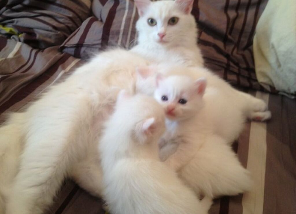 Чистопородные ангорские котята