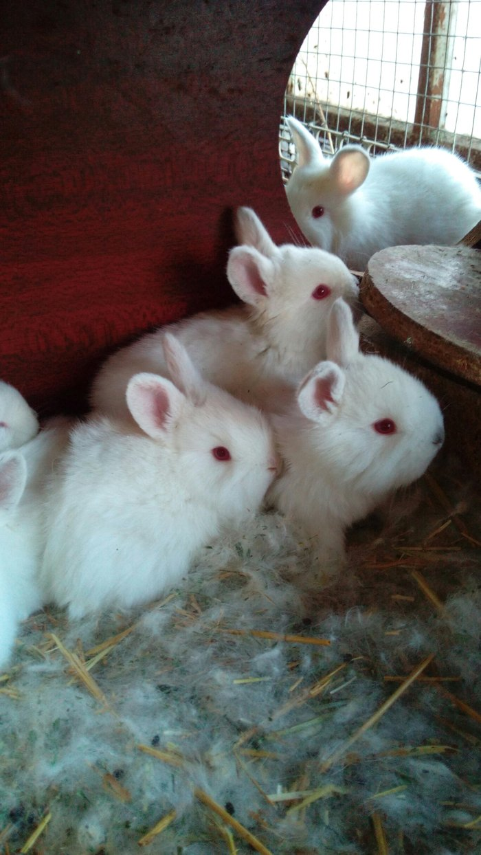 Крольчата белые пушистики породы в Кок-Ой