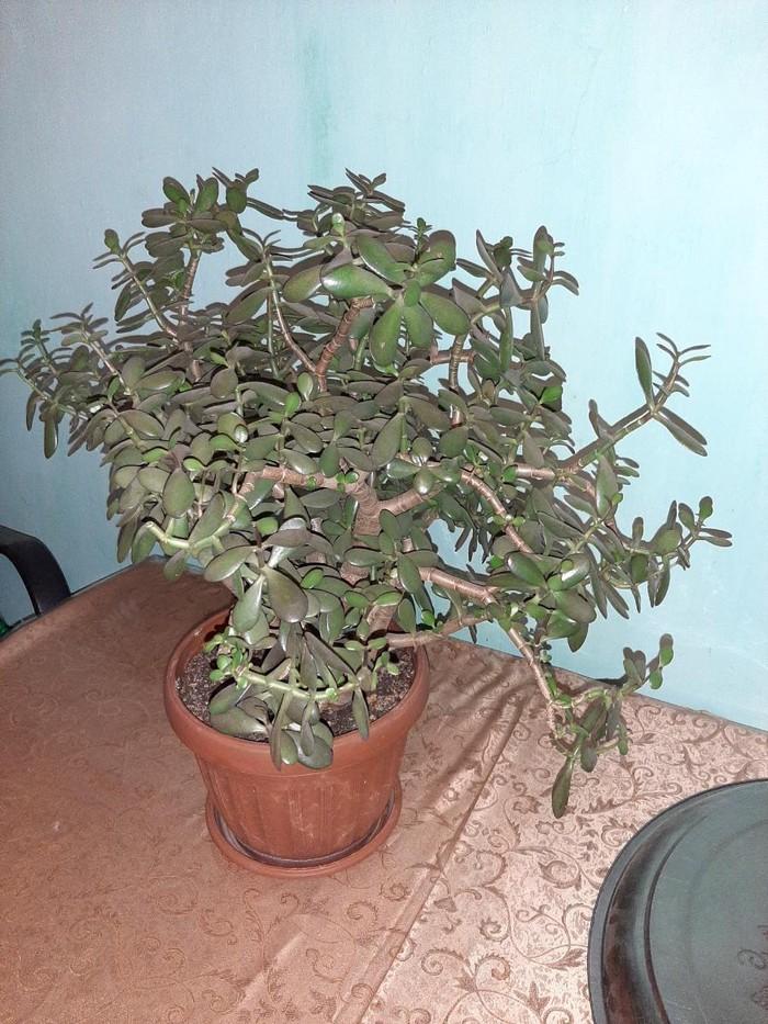 Денежное дерево. Photo 0