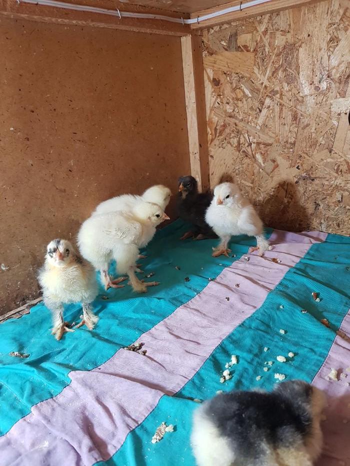 Брама  Гигант  и Полосатые Кохинхины.  продаю цыплят . возраст 2-3 дня. Photo 1