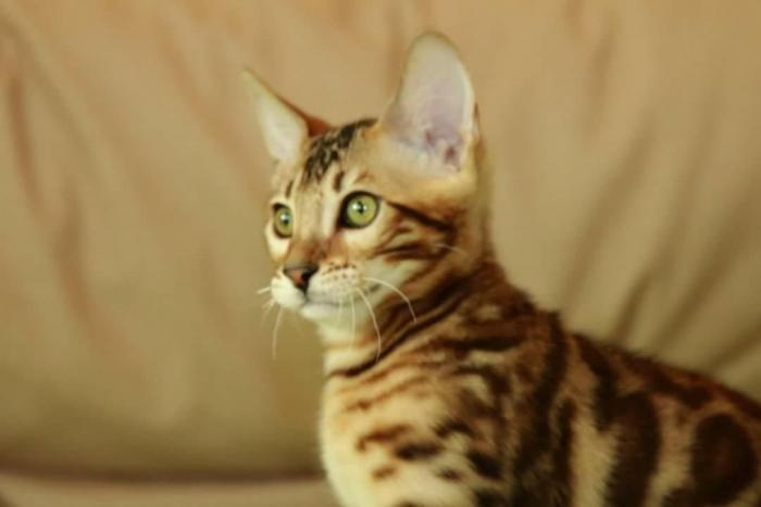Bengal cat σε Αθήνα