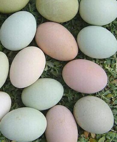 Brama yumurtasi mayali gundelik var. Photo 0